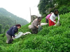 Turkish tea harvesters