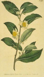 Botanical Illustration Camellia Sinensis