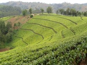 A lush tea garden in Rwanda