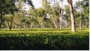 Tea Garden - Assam