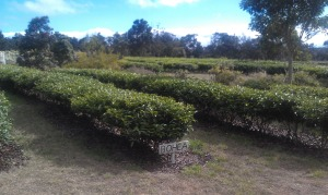 Thank you to Walker Tea Review for this beautiful view of US Grown Tea.