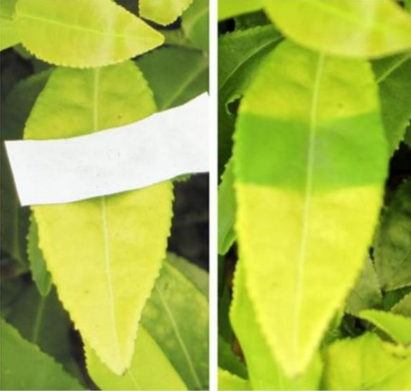Leaves belonging to a light-sensitive albino tea cultivar. For ten days a part of the leaf has been less exposed to sunlight. As you can observe as you can see this part of the leaf has become greener, indicating greater amount of chlorophyll. Fonte:Effect of sunlight shielding on leaf structure and amino acids concentration of light sensitive albino tea plant Wang K. R. 1,2 , Li N. N. 1 , Du Y. Y. 1 and Liang Y. R. 1. African Journal of Biotechnology